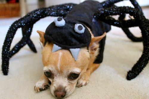 Mini-spider-costume-for-dogs