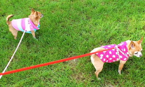 Two-chihuahuas-on-their-walks-on-a-lazy-Saturday
