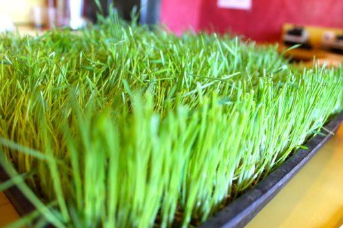 Wheatgrass-juice-benefits